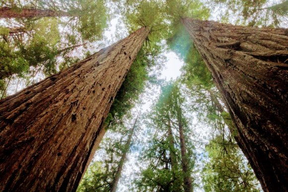 A growing climate niche for giant trees
