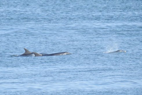 Scottish bottlenose dolphins between Texel and Den Helder