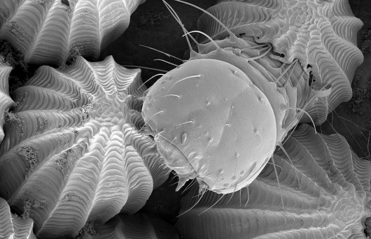 "Picture ""birth of a caterpillar"" made by Marcel Giesbers from Wageningen Electron Microscopy Centre and Hans Smid from Laboratory of Entomology, showing the head of a first instar caterpillar of the Large White butterfly, just hatching from the egg"