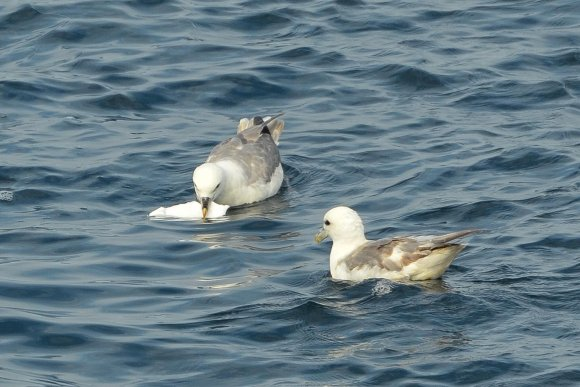 New monitoring report Northern fulmars and plastics
