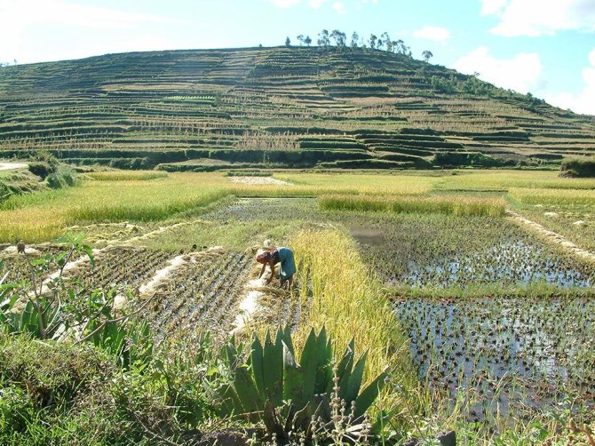 Terraced hillslopes, a woman working on irrigated fields