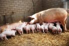 Starch rich lactation diet improves recovery of lactating sows that are pregnant