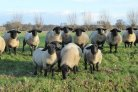 Second evaluation for breeding for shorter lamb tails