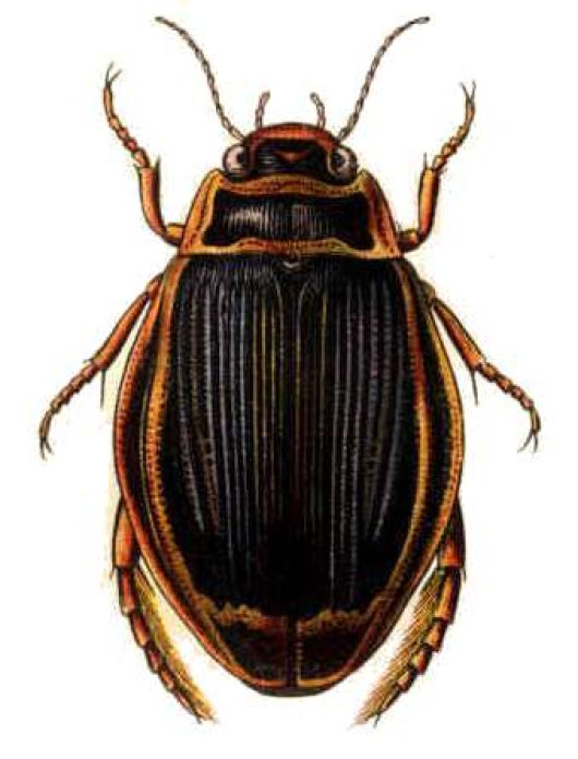 Illustration beetle by Edmund Reitter 1908