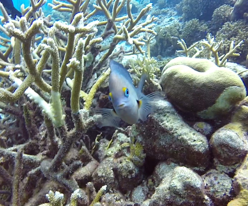 damselfish.PNG