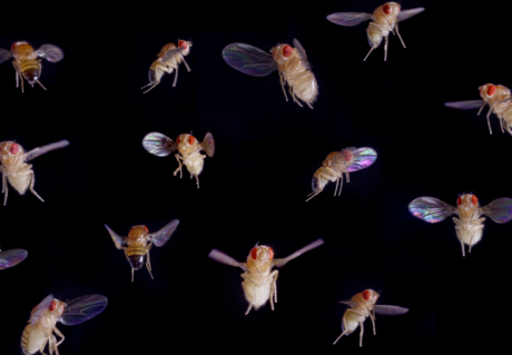 The flight of fruit flies under the microscope