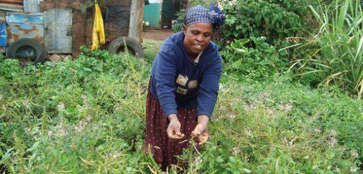 African Spider Plant Spider Plant Leaf Vegetable