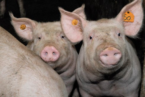 African swine fever (ASF) in Europe, Belgium and close to the Netherlands