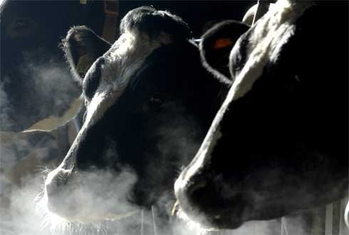 methane, emissions, ruminants, cows