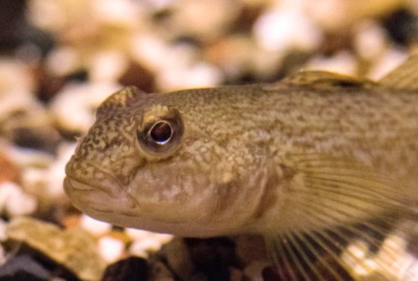 Round goby - photo by Great Lakes Aquarium