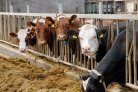 International symposium on dairy cattle