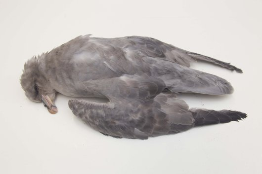 A dark coloured fulmar found on the Dutch beach. Note the grey head and neck.  Double light (LL) birds have more of a gull like colour-pattern with white head, neck and underparts. Such light fulmars usually have their origin in nearby populations from temperate climate zones, whereas dark ones, as on the photo, almost certainly are high Arctic birds wintering in the North Sea. In most winters the proportion of such northern visitors in the samples is roughly 10% to 20%. Most of them are younger birds.