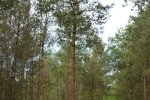 Scots pine a few years after first release