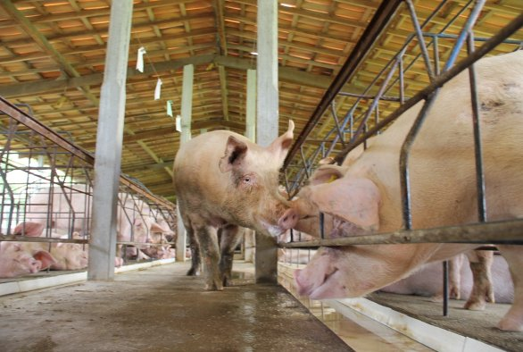 LocalPork symposium on the sustainability of pork production in the tropics