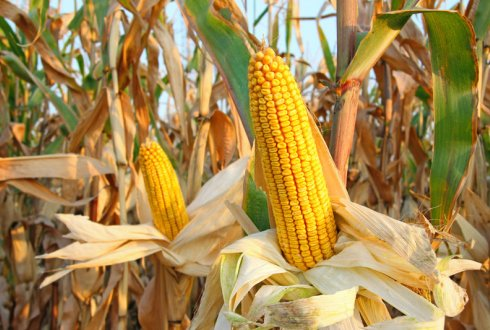 Researchers predict that climate change will cause an increase in mycotoxins in maize