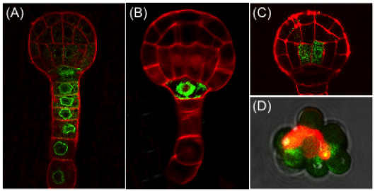Figure 2. Confocal images of suspensor-specific (A), hypophysis-specific (B), and vascular-specific (C) NTF expression in the Arabidopsis embryo. (D) Biotin-tagged nucleus (red) bound to streptavidin-coated beads. GFP fluorescence in (A-C) is in green while membranes are counterstained with FM4-64 (red).