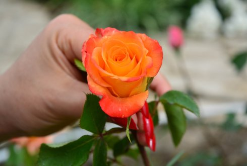 Researchers from Wageningen University & Research publish detailed genetic map of roses
