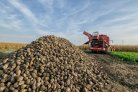 Voluntary coupled European support for sugar beet should be more targeted