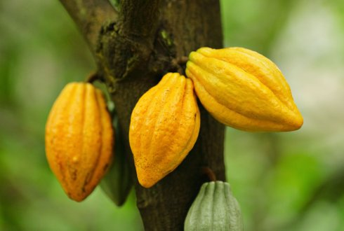 Sustainable intensification of cocoa production