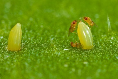 Mustard plants have double defence against insect pests