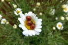 Margrietjes leiden bladluizen om de tuin met natuurlijke alarmgeurstof