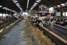 koeien in de stal van Baltus