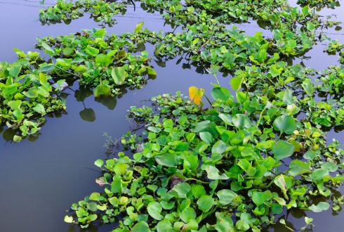 Management of water hyacinth (Eichhornia crassipes [Mart.] Solms) using bioagents in the Rift Valley of Ethiopia