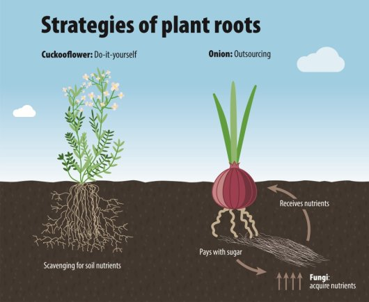 Figure: Plant root strategies. Plant roots worldwide vary in their strategy for obtaining nutrients. Do-it-yourselfers have all their equipment on baord. Outsourcers form alliances with soil fungi in exchange for sugars.