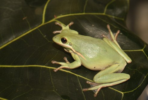 Hyla cinerea (Photo: Julian K.A. Langowski)