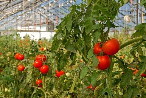 Tomaten telen in kas