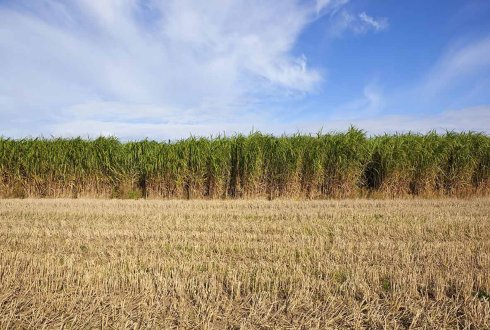 'Supercrop' miscanthus full of potential