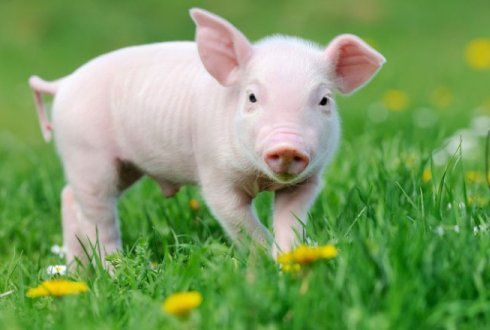 Preventing Streptococcus suis in pigs around the world