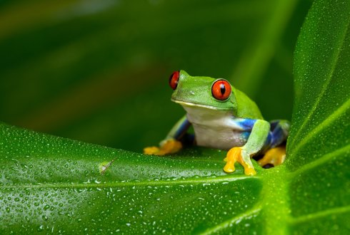 Getting a grip on tree frog attachment: Structures,mechanisms and biomimetic potential