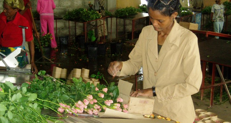 Flower production in Ziway
