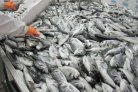 Breeding program for gilthead seabream profitable after five years