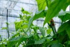 AI takes control in the greenhouse: Team Sonoma wins Autonomous Greenhouse Challenge