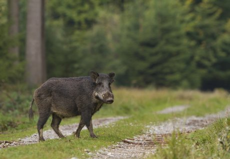 African Swine Fever in Belgium - what does it mean for the Netherlands?