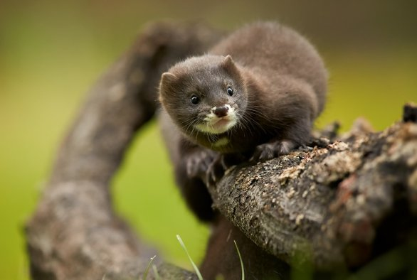 Covid 19 Detected On Multiple Dutch Mink Farms Wur