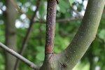Afgestorven tak; zijscheut neemt groei over