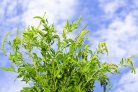 Ragweed can cause strong allergic reactions