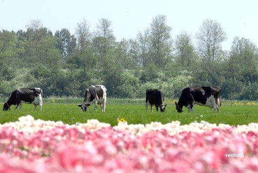 Droogstand op maat kan antibioticagebruik en ziekte bij koeien reduceren