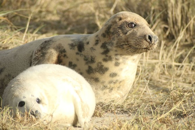 Researchers visit the Wadden islets of Richel and Griend in the birthing season of grey seals. They count and photograph the seal pups and females from a safe distance. This way, they are able to find out whether the females give birth in the same location each year.