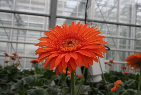 macrolophus on gerbera