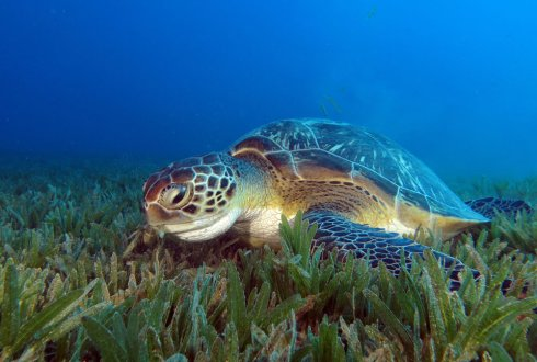 Green sea turtle digging its own watery grave due to invasion of non-native seagras