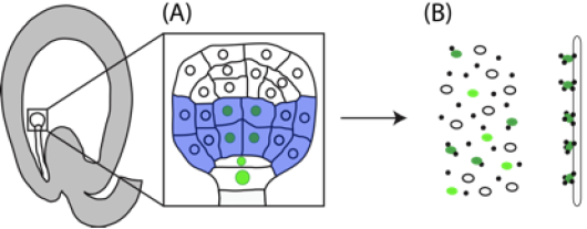 Figure 1. Schematic figure of detailing the concept behind the INTACT method. A transgenic nuclear tagging factor (NTF) containing GFP and a biotinylation site is co-expressed in the cell type of interest (A, green) together with a biotin ligase (BirA, blue) in the Arabidopsis embryo. After homogenization, biotin-tagged nuclei are purified using streptavidin-coated beads (B, dark green).