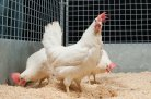 Natural antibodies in poultry - science and application