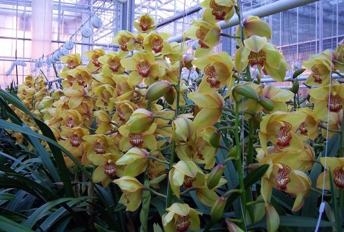 Cymbidium, water_emission, reusing drain water