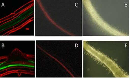 Figure 2. The 3'UTR of Arabidopsis ENOD40 (A,B) and Medicago (C_F) contains a domain that upon deletion (B, D) leads to a higher level of ENOD40-GFP/RFP  production. E and F are bright field micrographs of roots C and D. In both plants ENOD40 is expressed in the pericycle.