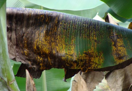 DNA of banana fungus unravelled for more sustainable banana crops