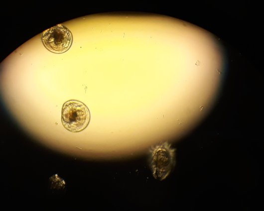 Oyster larvae. Photo: Dr. P. Kamermans.